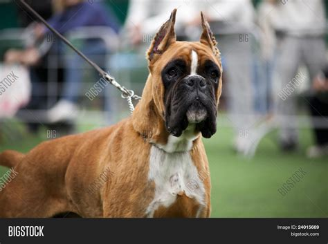 boxer dog haircut boxer dog haircut boxer dog cut ears image photo bigstock
