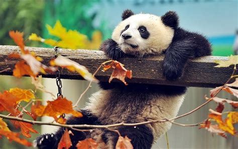 panda wallpaper for mac download imagens panda ursos animais engra 231 ados jardim