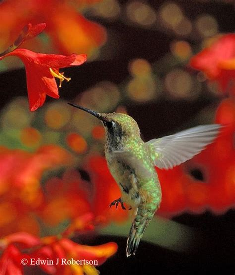 botanica ii flowers that attract hummingbirds and butterflies volume 2 books a list of nectar plants for hummingbirds photo