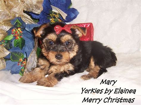 teacup yorkies for sale in arkansas 1000 images about tiny yorkie puppies for sale in arkansas on
