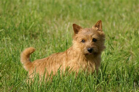 norwich terrier puppies for sale breeds terrier breeds picture