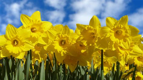 the 10 fun facts you didn t know about daffodils