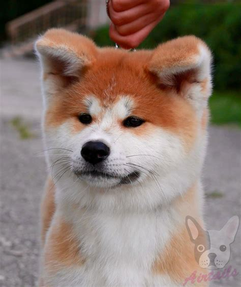 akita inu puppies for sale japanese akita puppies for sale uk seterms