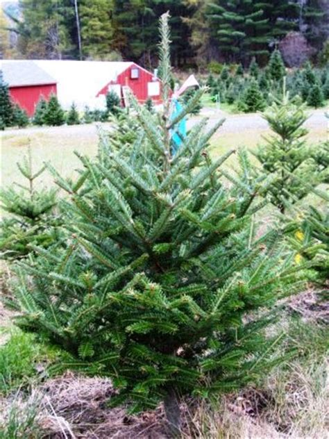 fresh cut tabletop tree 3 to 4 foot fresh cut tabletop fraser fir