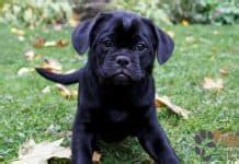 pug mixed with pitbull pug puppies pugs home