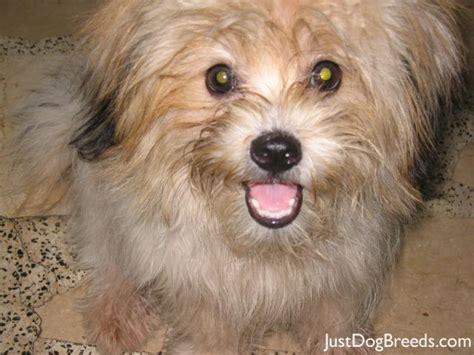 breeds similar to shih tzu breeds shih tzu breeds picture