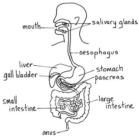 digestive system diagram google search artwork