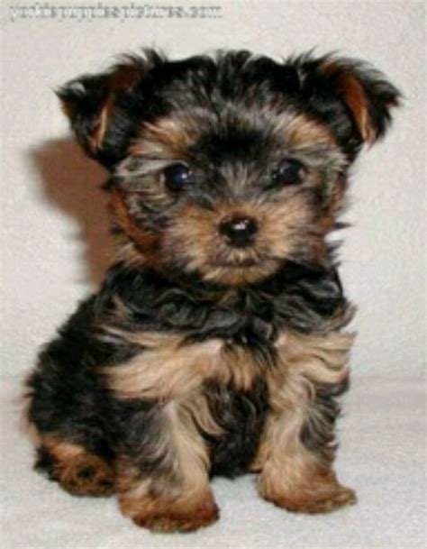 a baby yorkie this is a baby chorkie chihuahua yorkie mix yorkie chihuahua mixed puppies