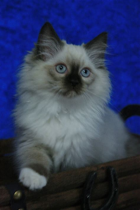 ragdoll cat colors usa ragdolls ragdoll kittens and cats colors and patterns