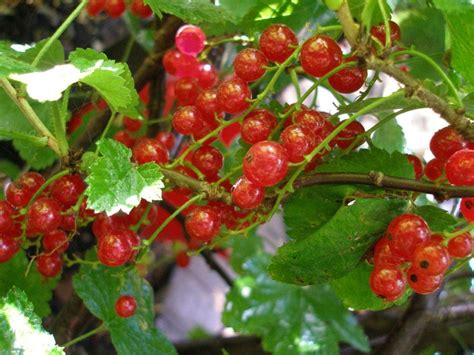 What Is An Eat In Kitchen Currants An Old Fashioned Fruit Purposeful Nutrition
