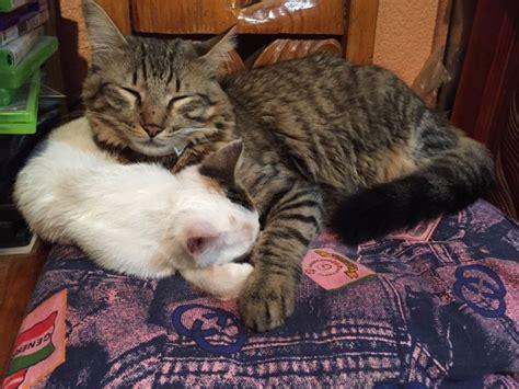 Minino Plus minino plus alimento para gatos y gatitos minino plus