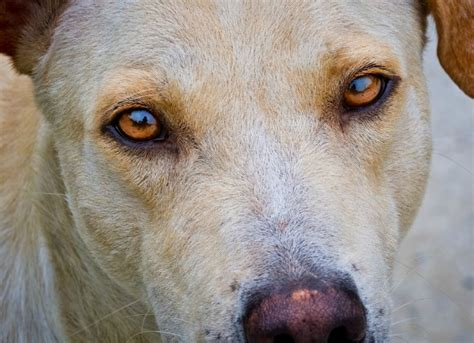 nystagmus in dogs unintentional eye movement in dogs petmd