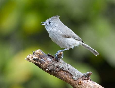oak titmouse mostly birds photographs by larry selman