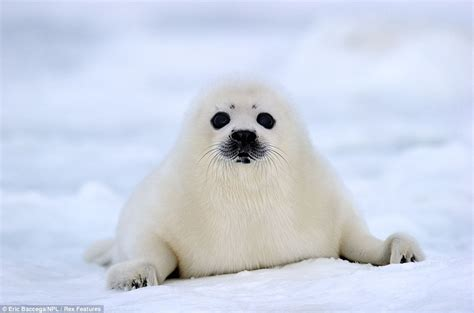 baby seal pup the adorable pictures thread kaiju combat community forums