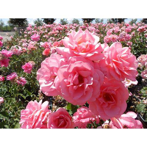 rosa landscape shrub roses shrubs plant type boething treeland farms