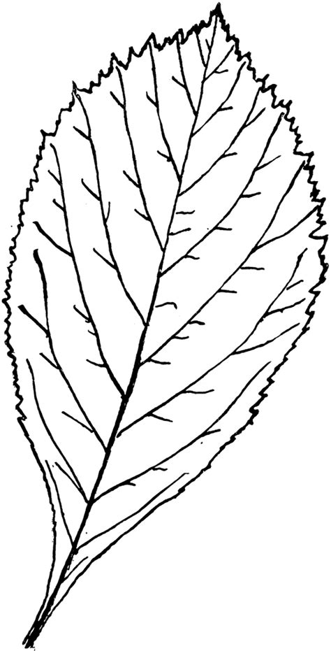 Genus Crataegus, L. (Thorn) | ClipArt ETC