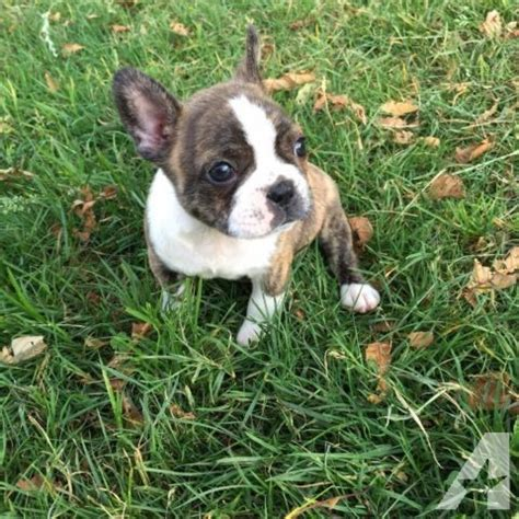 frenchton puppies for sale frenchton for sale in california breeds picture