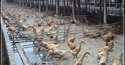 Bibit Bebek Petelur Di Medan 3 tahapan penting dalam budidaya ternak bebek petelur