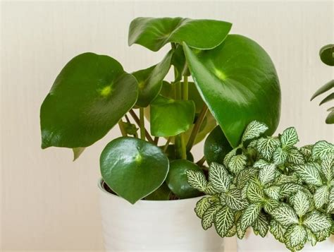 care   peperomia plant  pictures