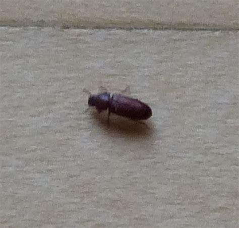 kleine schwarze käfer in wohnung k 252 che kleine braune k 228 fer k 252 che kleine braune kleine