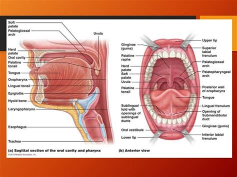 oropharynx diagram anatomy of tonsil and oropharynx