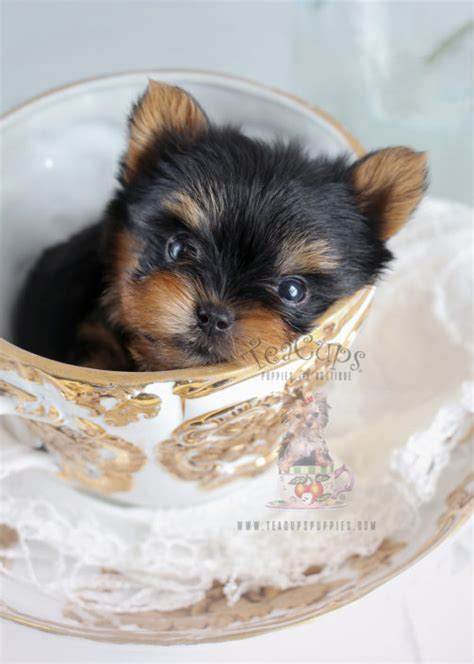 teacup yorkie boutique teacup yorkies for sale by teacups puppy boutique teacups puppies boutique