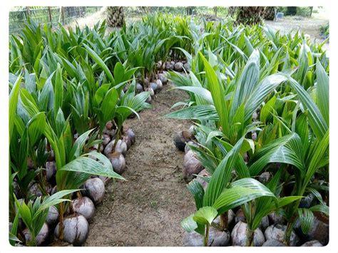 Benih Serai Gajah cita tani nursery ns0154959 benih kelapa matag