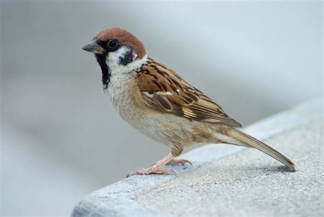 welcome eurasian tree sparrow males build hanging nest