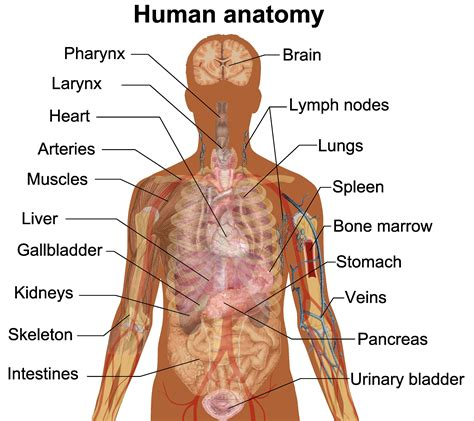 human organs diagram major organs in human fosfe