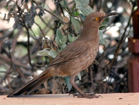curve billed thrasher identification earbirding