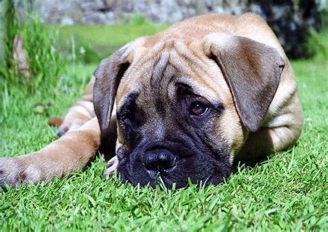 american mastiff puppies best 25 bull mastiff puppies ideas on