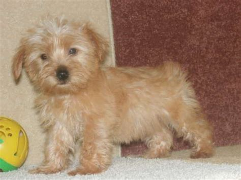 yorkies for sale in tucson az 25 best ideas about morkie puppies for sale on morkies for sale yorkie