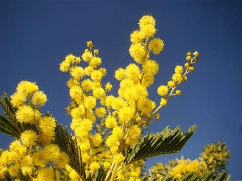 mimosa coltivazione in vaso coltivazione in vaso della mimosa piante da giardino