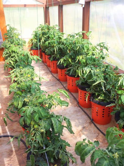 How To Grow Tomato Plants In Buckets Home Design Garden 5 Gallon Vegetable Garden