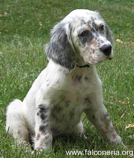 miss ali english setter dog breeds setter inglese