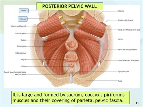 pevic floor exercises to reduce coccyx pelvic floor muscles pelvic floor muscles nerve supply