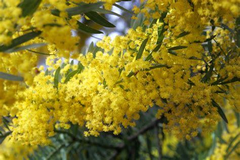 file acacia covenyi02 jpg