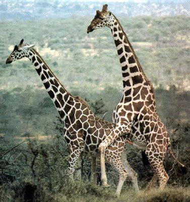 imagenes de jirafas apareandose c 243 pula de animales sexo taringa