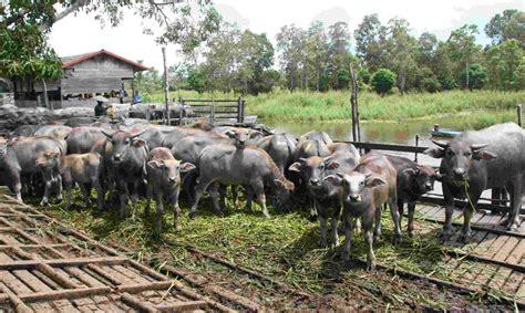 Bibit Sapi Medan budidaya ternak kerbau alam indah