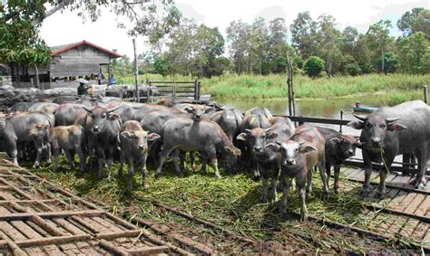 Bibit Itik Medan budidaya ternak kerbau alam indah