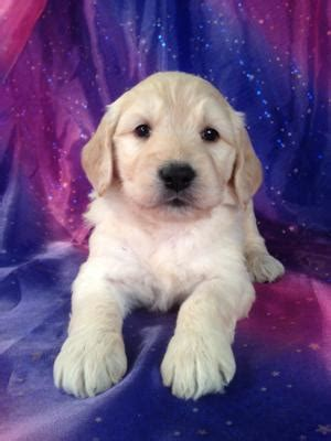 goldendoodle puppies for sale massachusetts looking for goldendoodle breeders in boston massachusetts