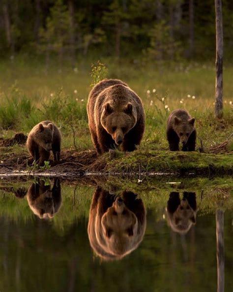 imagenes de la familia de osos m 225 s de 25 ideas incre 237 bles sobre osos pardos en pinterest