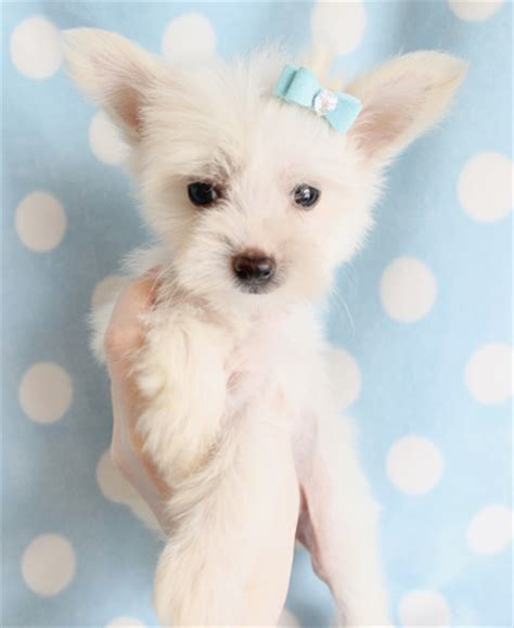 crested puppies available crested puppies small breeds photos and information