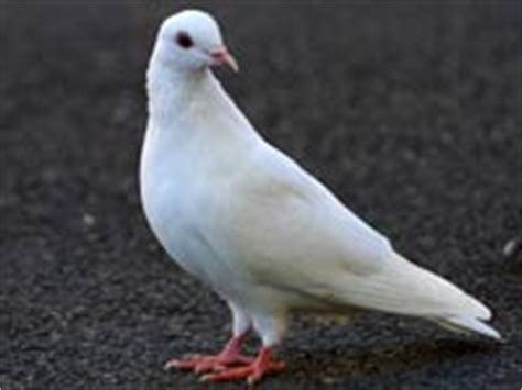 dove animals town