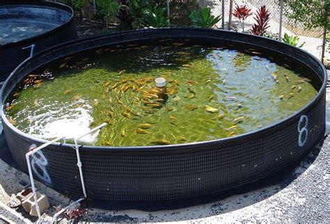 diy backyard aquaponics the 6 best aquaponics fish species diy aquaponics systems