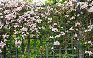 Best Climbing Plants - how to plant and prune climbers for the best results