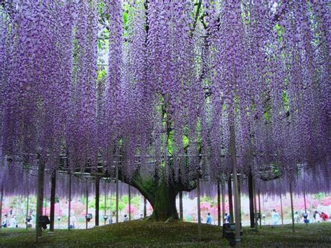 wisteria in japan over 150 year old wisteria sinensis tree in japan