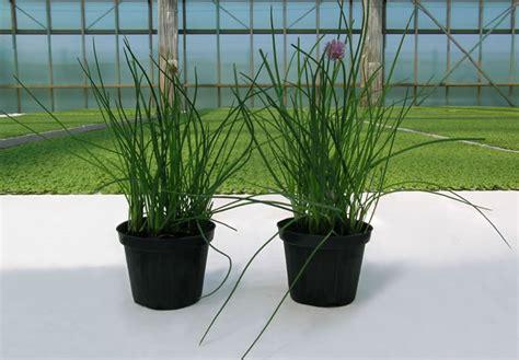 erbe aromatiche in vaso ortoflora le erbe dello chef produzione piante ed erbe
