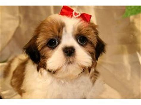 shih tzu for sale ny dogs for sale puppies for sale
