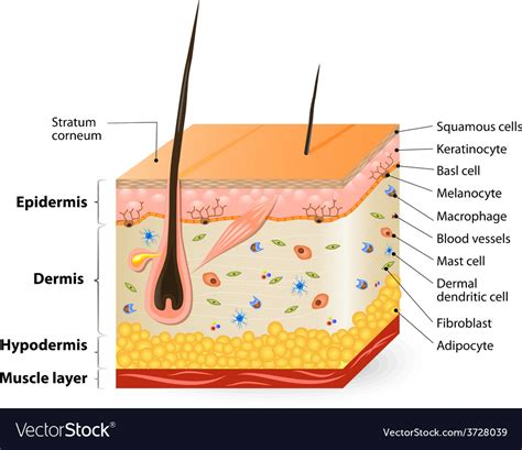 human skin structure royalty free vector image pictures anatomy of human skin anatomy and physiology